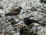 brown noddy (Anous stolidus), black noddy (Anous minutus)
