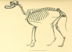 Egyptian dog skeleton - domestic dog (Canis lupus familiaris)