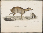 greater mouse-deer (Tragulus napu)
