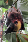 giant golden-crowned flying fox, golden-capped fruit bat (Acerodon jubatus)
