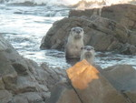 Cape clawless otter (Aonyx capensis capensis)