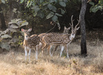 Indian spotted deer, chital (Axis axis)