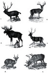 Cervidae: Indian sambar (Rusa unicolor), white-tailed deer (Odocoileus virginianus), elk (Alces ...