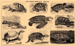 ...ferox), common snapping turtle (Chelydra serpentina), hawksbill sea turtle (Eretmochelys imbrica...