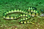 yellow sea snake (Hydrophis spiralis)