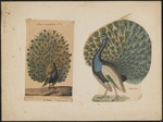 Indian peafowl, blue peafowl (Pavo cristatus)