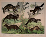 common genet (Genetta genetta), fossa (Cryptoprocta ferox), small Asian mongoose (Herpestes java...