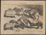 ...American badger (Taxidea taxus), greater hog badger (Arctonyx collaris), honey badger (Mellivora