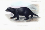 black ratel (Mellivora capensis cottoni)