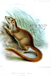 Madras treeshrew, Indian tree shrew (Anathana ellioti)