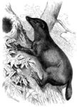 otter civet (Cynogale bennettii)