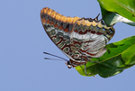 two-tailed pasha (Charaxes jasius)