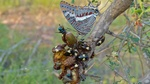 two-tailed pasha (Charaxes jasius saturnus), yellow-heart fruit chafer (Chondrorrhina trivittata...