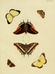 ...two-tailed pasha (Charaxes jasius), western yellow caper white (Belenois hedyle), small copper b