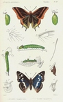 two-tailed pasha (Charaxes jasius), purple emperor (Apatura iris)