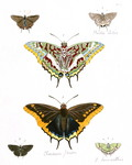 two-tailed pasha (Charaxes jasius), Bartram's scrub-hairstreak (Strymon acis), silver-banded hai...