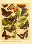 Duke of Burgundy (Hamearis lucina), nettle-tree butterfly (Libythea celtis), two-tailed pasha (C...