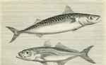 Atlantic mackerel (Scomber scombrus), Atlantic horse mackerel (Trachurus trachurus)