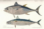 Atlantic bluefin tuna (Thunnus thynnus), Atlantic mackerel (Scomber scombrus)