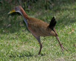 giant wood rail (Aramides ypecaha)