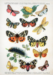 ...four-spotted footman (Lithosia quadra), crimson-speckled flunkey (Utetheisa pulchella), cinnabar
