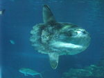 ocean sunfish, common mola (Mola mola)