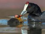 Red-knobbed Coot; Crested Coot (Fulica cristata): An adult feeding a chick