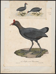 Red-knobbed Coot; Crested Coot (Fulica cristata)