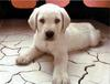 White Labrador Retriever puppy