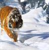Siberian Tiger (Panthera tigris altaica) pacing on snow