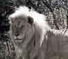 African lion (Panthera leo)  - white lion