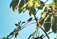 Golden-hooded Tanager side-view