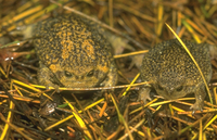 : Breviceps verrucosus; Plaintive Rain Frog