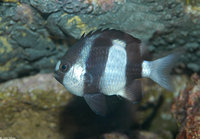 : Dascyllus aruanus; Three-striped Damselfish