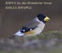 밀화부리 Yellow-billed Grosbeak