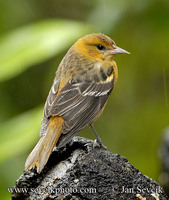 Photo of trupiál baltimorský Icterus galbula Northern Oriole Bolsero Norteňo