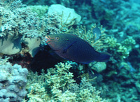 Scarus niger, Dusky parrotfish: fisheries, aquarium