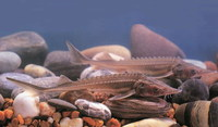 Acipenser schrenckii, Amur sturgeon: fisheries