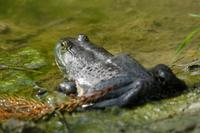 Image of: Rana catesbeiana (North American bullfrog)