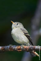 Image of: Empidonax flaviventris (yellow-bellied flycatcher)