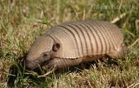 Chaetophractus villosus - Large Hairy Armadillo