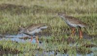 Image of: Tringa totanus (common redshank)