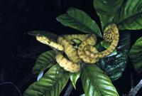 Image of: Corallus hortulanus (Amazon tree boa)