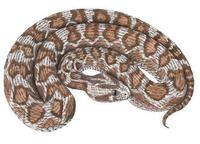 Image of: Echis carinatus (saw-scaled viper)