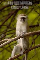 portrait of a vervet monkey stock photo