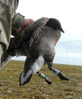 The    majority of the Brent geese got an individual ring-combination of two
