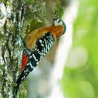 Rufous-bellied Woodpecker Dendrocopos hyperythrus