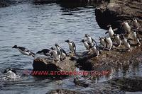 FT0160-00: Already wet Rockhopper Penguins line up to jump back into the sea. Sub Antarctica