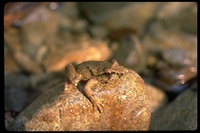 : Ascaphus truei; Tailed Frog