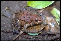 : Rana draytonii; Red-legged Frog